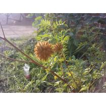 Semillas Glycyrrhiza Regaliz Palo Dulce Orozuz Ororuz Licor