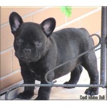 Bulldog Frances Macho, Excelente Filhote, Pedigree Cbkc...