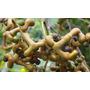 10 Mudas De Uva Do Japão No Tubete - Arvore Frutifera