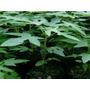 Vendo Plantas De Lechosa Maradol Y Bolsas Para Semilleros