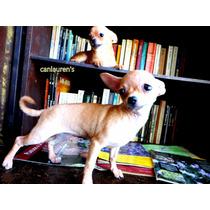 Chihuahua Mini Hembra Un Año Y Medio