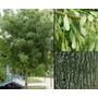Árboles De Fresno Apto Veredas