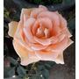 Rosales En Oferta, Bien Enraizadas En Maceta De Vivero