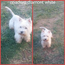 Westy Terrier Cachorra Excelente Pedigree Ultima Hembra