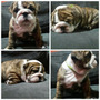 Bulldog Inglés Sin Pedigree