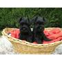 Schnauzer Black Silver Cachorros