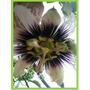 Maracuyá Brasilero- Trepadora Frutal, Vigorosa, Hermosa Flor