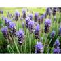 100 Plantas De Lavanda + Envio Gratis