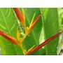 Semillas De Flores Exóticas Heliconias
