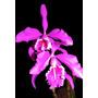 Orquídeas Mas De 500 Especies Desde