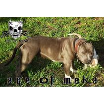 Criadero Age Of Meka Pitbull Blue Camada Ukc