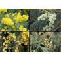 Acacia De Albata, Aromo Francés 2,1 A 2,3 Mt Tronco 10/12 Cm