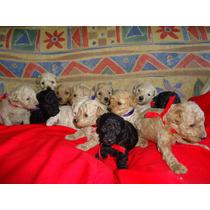 Cachorros De Caniches Gasper Criadero