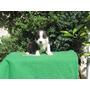 American Staffordshire Terrier Cachorros Machos Excelentes!!