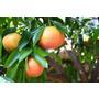 Arbol De Pomelos, Naranja, Citricos, Limoneros, Mandarina!!!