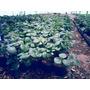 Planta/plantin Frutilla Lote X 150 U