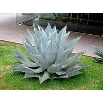 Agave Azul Gigante E Agave (dragão), Planta Exotica.