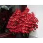 Borboletinha Sortida Schizanthus Sementes Flor Para Mudas