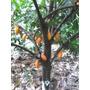 Ventas De Plantas De Cacao Criollo
