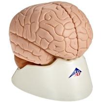 3b Scientific C15 Parte 2 Modelo Del Cerebro 5,9 X 5,5 X 6