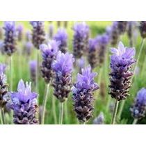 Lavanda 20 Semillas Aromatica Planta Jardín Maceta Nmp Sdqro
