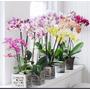 Orquidea Phalaenopsis En Flor Con Hasta 9 Flores!!