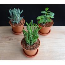 Plantas Miniatura, Plantas Suculentas, Cactus