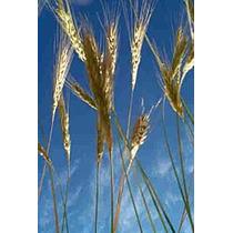 1 Kg De Semillas Centeno Organico -secale Cereale Codigo 177