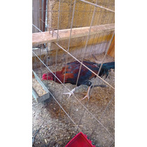 Pollo De Pelea