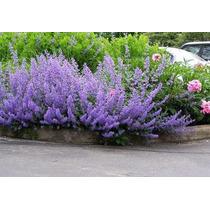 Nepeta Musiinii 5 Semillas Flores Planta Jardin Nmp Sdqro