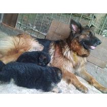 Cachorros Poa Con Pedigree Cadera Grado Cero