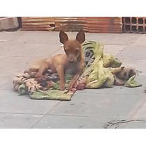 Pinscher Puro Cachorro