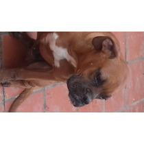 Perro Boxer 5 Meses