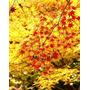 Plantines De Arce Japonés - Momiji