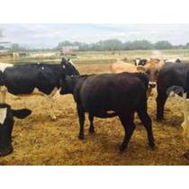Venta De Vacas Lecheras Y Becerras Finas