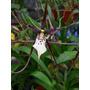 Brassia Black Magic (agave Sin Envios) 1 Vara
