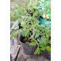 50 Plantines De Tomate Platense!!