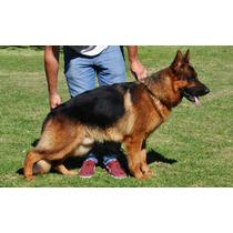 Cachorros Ovejero Aleman Poa - Con Pedigree