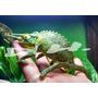 Camaleon Jackson Reptiles