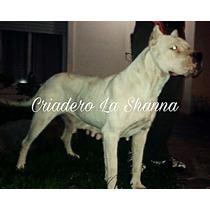 Dogos Argentinos Criadero La Shanna.
