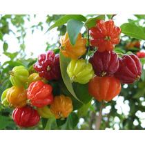 Arbolito De Cereza Del Brasil
