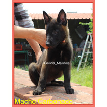 Cachorros Pastor Belga Malinois Con Pedigree