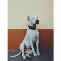 Cachorros Dogos Argentino- General Villegas Prov Bs As