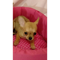 Chihuahua Hembra Muy Mini
