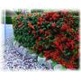 Plantas Para Cercos, Grateus,crataegus,pyracantha De 40 Cm