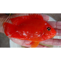 Peixe Papagaio King Kong 15 A 20 Cm + 500 Gramas Ração