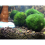 Paquete 4 Marimo Moss Ball Medianas Spectrum Dragon Stone