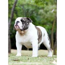 Bulldog Inglés Semental Monta