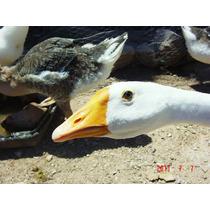 Libro Del Granjero Con Botas Gansos Patos Aves Palmipedas