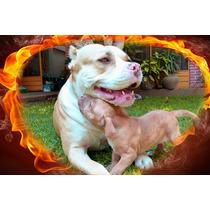 Vendo Cachorros Pitbull Cuernavaca.super Cuidados, Vacunados